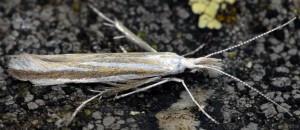 Coleophora chretieni 4