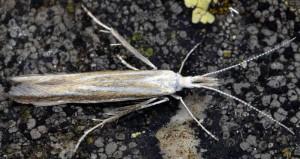 Coleophora chretieni 5