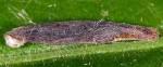 Coleophora chretieni