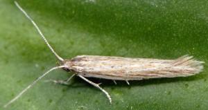 Coleophora cinerea 1