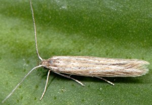 Coleophora cinerea 2