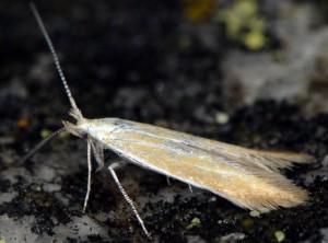 Coleophora colutella 1