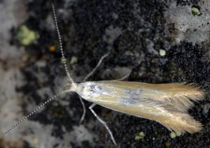 Coleophora colutella 2