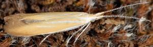 Coleophora colutella 3