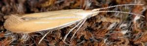 Coleophora colutella 4