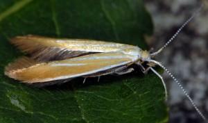 Coleophora colutella 5