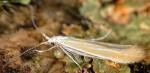 Coleophora congeriella (I)