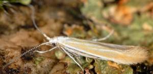 Coleophora congeriella 1