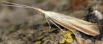 Coleophora conspicuella (I, F)