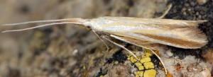 Coleophora conspicuella 2