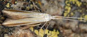 Coleophora conspicuella 3