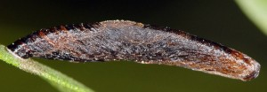 Coleophora conspicuella f
