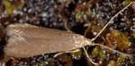 Coleophora coracipennella (I, F)