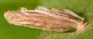 Coleophora coracipennella f 2