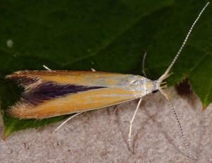 Coleophora coronillae 1