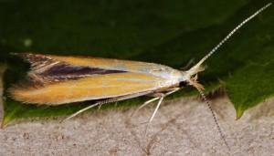 Coleophora coronillae 2