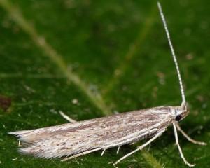 Coleophora corsicella 1