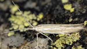 Coleophora corsicella 3
