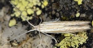 Coleophora corsicella 4