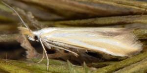 Coleophora cracella 1