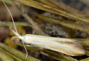 Coleophora cracella 2