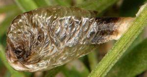 Coleophora cracella f 1