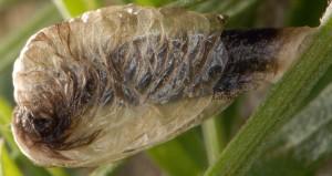 Coleophora cracella f 2