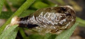 Coleophora cracella f 3