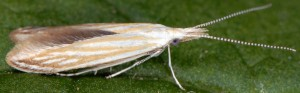 Coleophora currucipennella 2