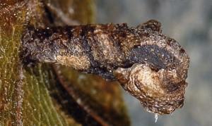 Coleophora currucipennella f 1