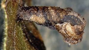 Coleophora currucipennella f 3