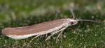Coleophora cyrneogenistae (I, G)