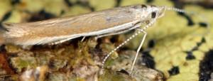 Coleophora cyrneogenistae 4