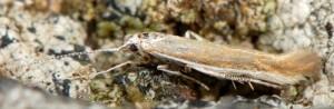 Coleophora cyrneogenistae 5