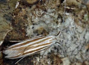 Coleophora cyrniella 3