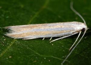 Coleophora cyrniella 4