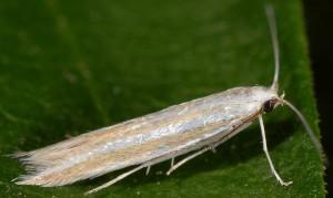 Coleophora cyrniella 5