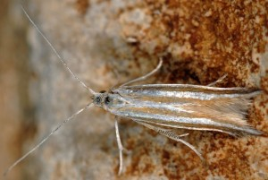 Coleophora cyrniella 6