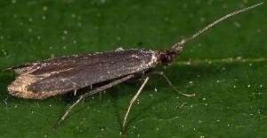 Coleophora deauratella 1