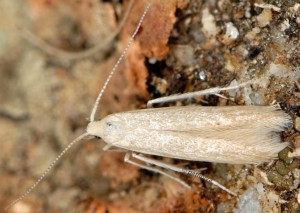 Coleophora deviella 2