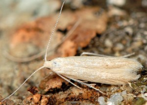 Coleophora deviella 3