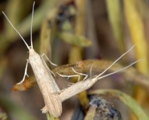 Coleophora deviella a 1