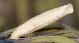 Coleophora deviella f 1