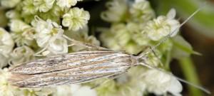 Coleophora dianthi 1