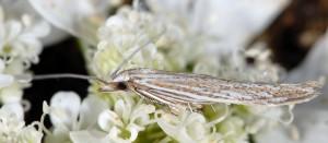 Coleophora dianthi 2