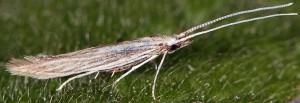 Coleophora dianthi 3
