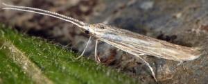 Coleophora dianthi 4