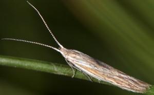 Coleophora dianthi 5