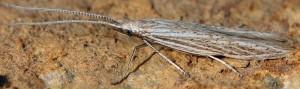 Coleophora dianthi 6