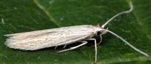 Coleophora dianthi 9